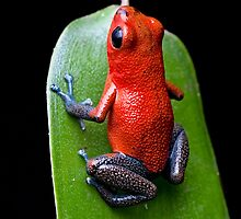Red poison dart frog by dirkercken