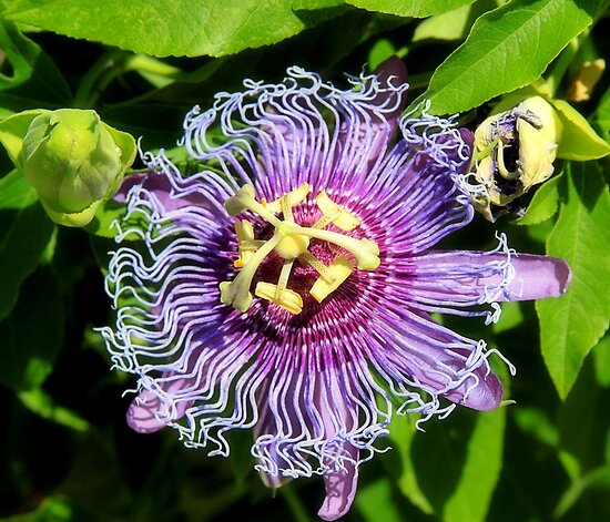 Passion Flower Bloom by SuddenJim