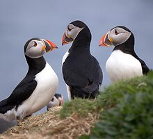 A Contemplation of Puffins by Fe Messenger