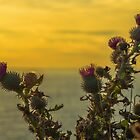 Sunset Thistle by Jon OConnell