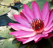 Waterlily,pink. by JeanNieman