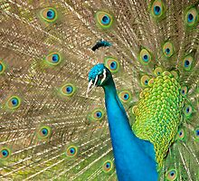 Colourful open tailed Peacock. by JeanNieman