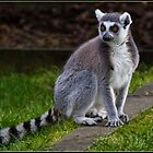 Ring-tailed Lemur by alan tunnicliffe