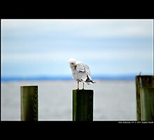 Larus Delawarensis - Ring-Billed Gull Cleaning Its Wing At The Dock - Port Jefferson, New York by © Sophie W. Smith