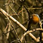 Common Robin by Jennifer Vollebregt
