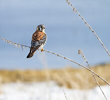 American Kestrel: Springy by John Williams