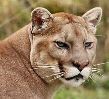 Puma / Mountain Lion  by AnnDixon