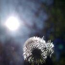 Dandelion by Arve Bettum