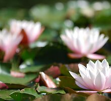 water lilies by Crimmy