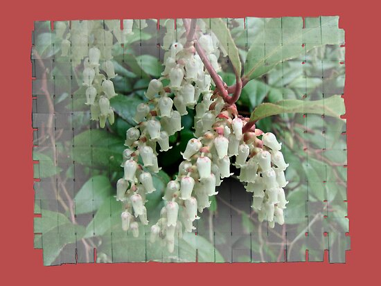 Andromeda - Lily of the Valley Shrub - Pieris japonica by MotherNature