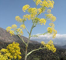 Giant Fennel by Francis Drake