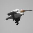 Great White Pelican by Donald  Mavor