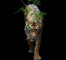 Pacing Tiger by Chris Kean