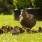 Mother Duck and Chicks by ajwimages