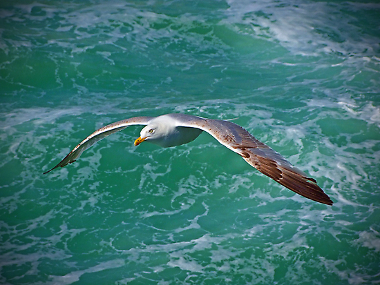 Seagull Brighton by Colin J Williams Photography