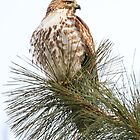 Red-tailed Hawk: Pine Top Perch by John Williams