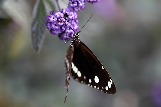 Hunter Valley Butterfly ~ 2 by Emma  Wertheim ~