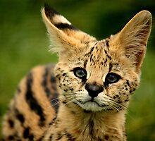 Serval Kitten by SChambers