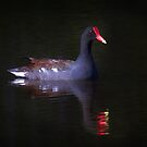 common moorhen by Jim Cumming