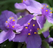 Tradescantia named Blue Stone by JMcCombie