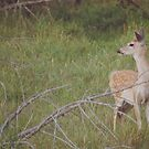 Watchful Deer by lindsycarranza