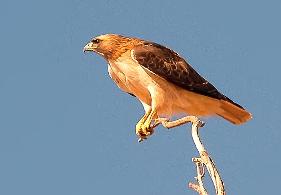 021613 Red Tailed Hawk by Marvin Collins