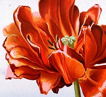 Large Red Tulip Flower by RedPine