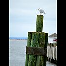 Larus Delawarensis - Ring-Billed Gull At Harbor - Port Jefferson, New York by  Sophie Smith