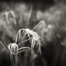 Spider lilies by Mrs Mel Brackstone