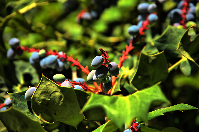 Holly Berries by DFWHDR