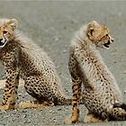 I DON'T LIKE THIS! CHEETAH CUBS - Acinonyx jabatus - Jagluiperd welpies by Magaret Meintjes