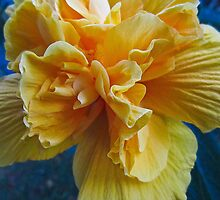 Yellow hibiscus- El Salvador by David Chesluk