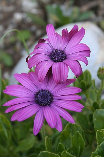 Purple and Pink African Daisy Flowers by taiche