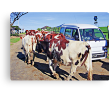 Vanity among cows? - please see description Canvas Print