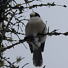 Gray Jay by Tracy Faught