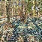 Snow Drops in Forest by Pauws99