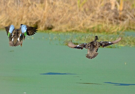 See Ya Later (Blue Winged Teal and Mate) by imagetj