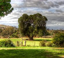 160 year old Olive Tree  Cooma Cottage Yass NSW  Australia  by Kym Bradley