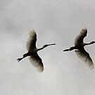 Upward Bound  Spoonbills  by Kym Bradley