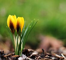 Spring Beckons by Tracy Friesen