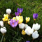 Yellow Purple White Crocus Flowers by Nadine Staaf