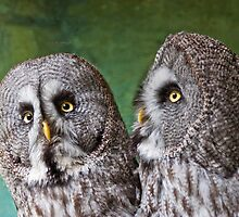 Great Grey Owls by Dawn OConnor