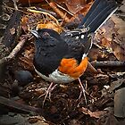 &quot; Male Rufus-Sided Towhee &quot; by Melinda Stewart Page