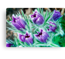 Lush - Pasque Flowers Canvas Print