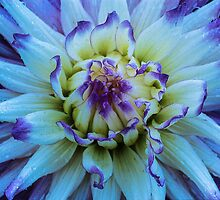 Dahlia Star by Greg Summers