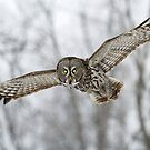 Great Gray Owl by Bill McMullen