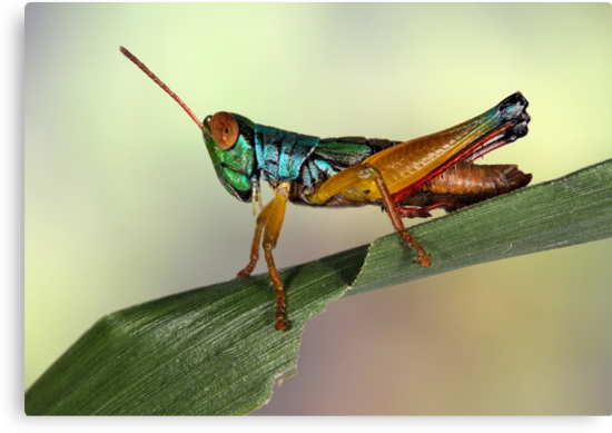Grasshopper from Bali by jimmy hoffman