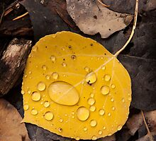 Aspen Leaf Isolation by David Kocherhans