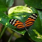 Tiger Orange Butterfly by gharris