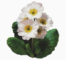 Small White Primroses by Susan Savad